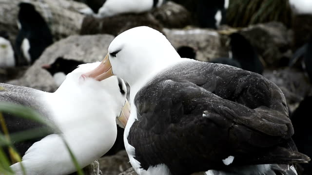 albatross on the cliffs of west point island in the falkland islands - albatross stock videos & royalty-free footage