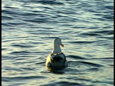 albatross - pov boat, ms sidelit, bird floats in sea, bobs in undulating water, stretches wings, starburst sunlight on water - water bird stock-videos und b-roll-filmmaterial