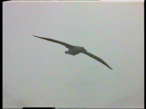 vidéos et rushes de ms albatross soaring over water, snowy landscape in background, antarctica - glisser