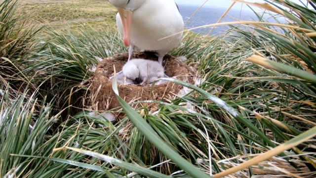 vídeos y material grabado en eventos de stock de albatros con jóvenes - accesorio de cabeza