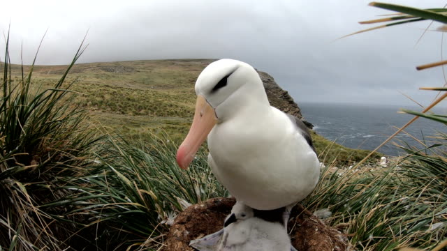 albatross with young - albatross stock videos & royalty-free footage