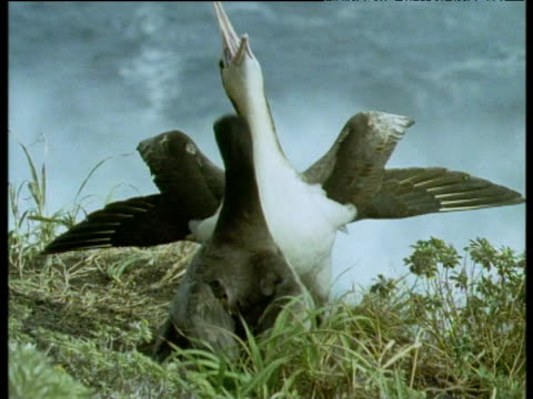 albatrosses petting each others beaks in courtship display. galapagos islands. - maul stock-videos und b-roll-filmmaterial