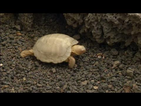 Albino baby tortoise crawling across rocks / Galapagos Islands