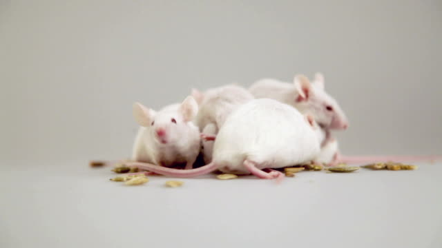 albino mouse eating and playing - mouse animal stock videos & royalty-free footage
