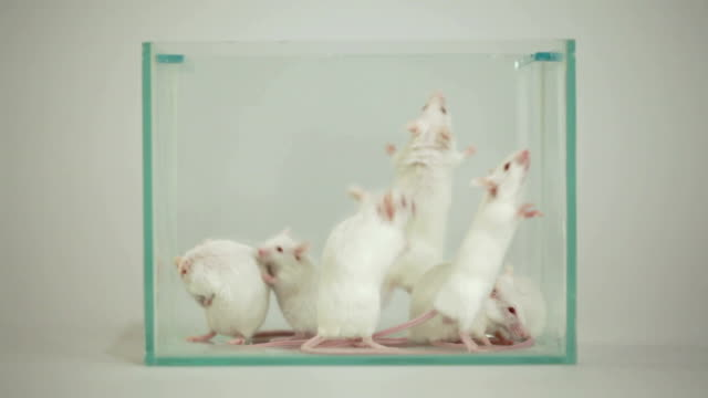 albino mouse in terrarium - mouse stock videos & royalty-free footage