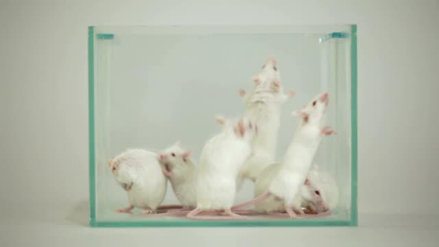 albino mouse nel terrario - laboratorio video stock e b–roll