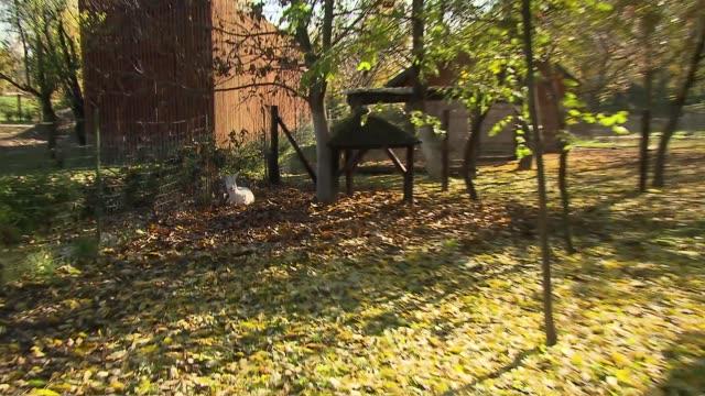stockvideo's en b-roll-footage met albino roebuck - mens gemaakte bouwwerken