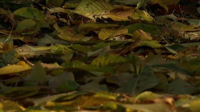 albino roebuck - wirbeltier stock-videos und b-roll-filmmaterial