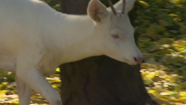 vidéos et rushes de albino roebuck - mammifère ongulé