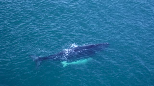 albino southern right whale calf - southern right whale stock videos & royalty-free footage