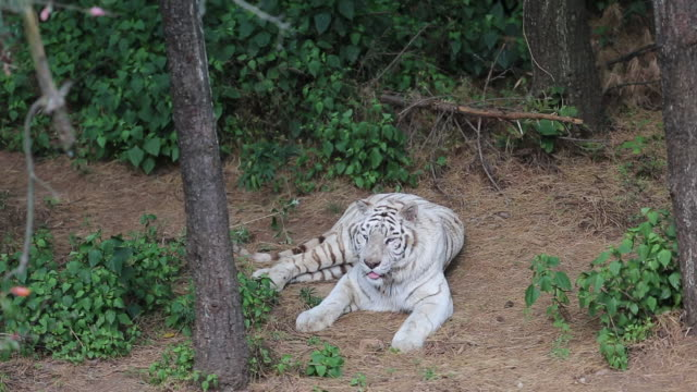 albino tigers have a very rare mutation with only a few individuals in the world. - mutazione genetica video stock e b–roll