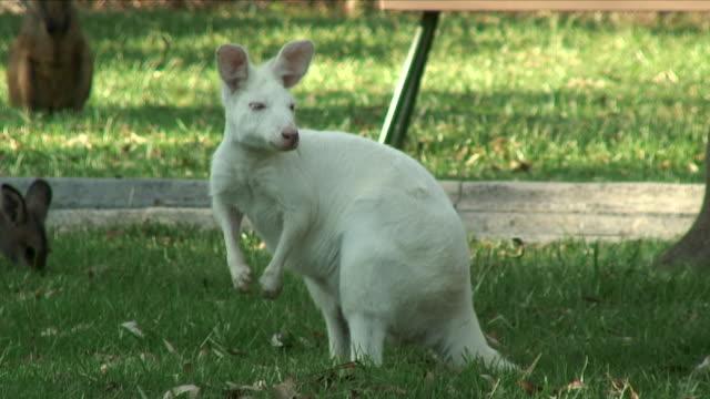 WS Albino Wallaby on Lawn / Port Macquarie, Australia
