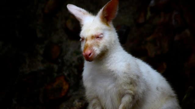 Albino wallaroo, macropus robustus