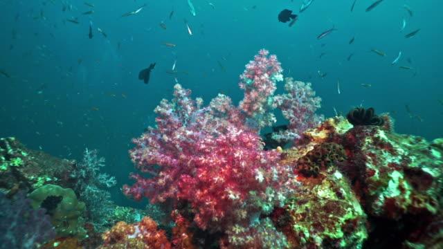 Alcyonarian soft coral, Hin Muang, Thailand