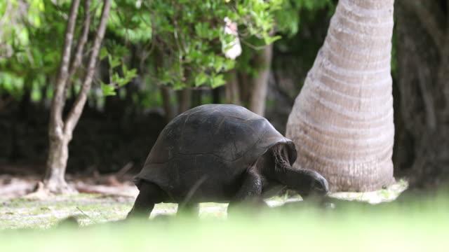 aldabra giant tortoise, aldabra atoll - reptile stock videos & royalty-free footage