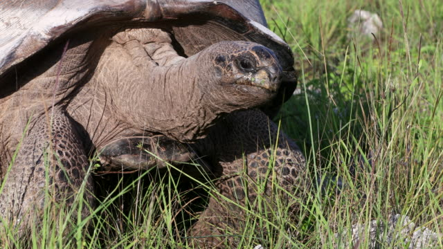 aldabra giant tortoise walking through grass on assumption island, seychelles - bedrohte tierart stock-videos und b-roll-filmmaterial