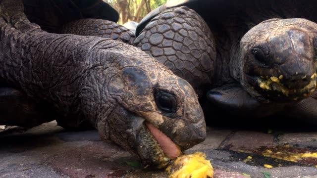 aldabra schildkröte essen obst - landschildkröte stock-videos und b-roll-filmmaterial