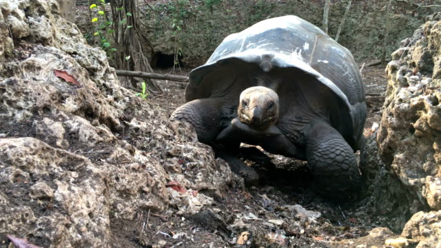 aldabra tortoise walking and exploring the forest - tortoise stock videos & royalty-free footage