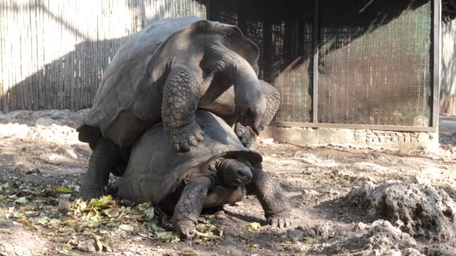aldabra tortoises mating - zanzibar archipelago stock videos & royalty-free footage