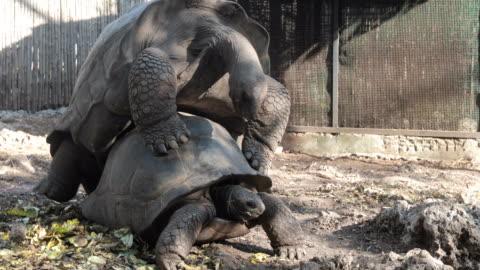 aldabra-schildkröten, die paarung - landschildkröte stock-videos und b-roll-filmmaterial