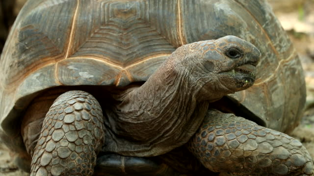 stockvideo's en b-roll-footage met aldabrachelys gigantea, slow-motion - schildpad