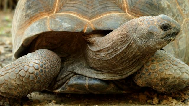 aldabrachelys gigantea - tierhaut stock-videos und b-roll-filmmaterial