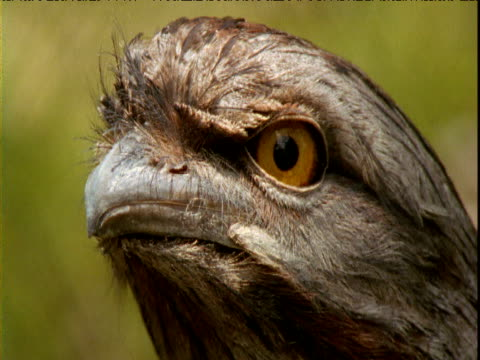 alert face of tawny frogmouth, western australia - 動物の色点の映像素材/bロール