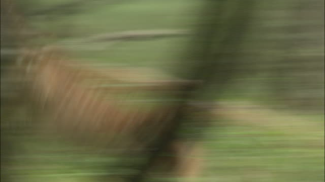 alert fawn bounds to mother in dense forest, japan - fawn stock videos & royalty-free footage