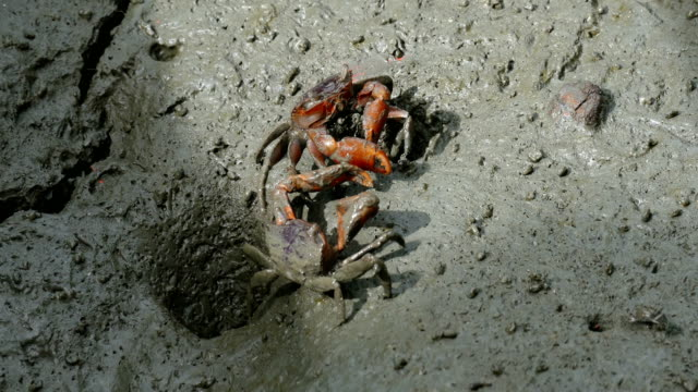 alert ghost crab (ocypode ryderi) on the beach - pga event stock videos and b-roll footage