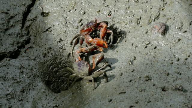 vídeos de stock, filmes e b-roll de alerta-caranguejo fantasma (ocypode ryderi) na praia - evento da associação de golfistas profissionais
