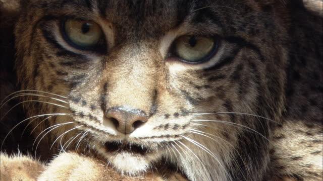 vidéos et rushes de ecu alert iberian lynx face / zoolí_gico botíçnico jerez, spain - lynx