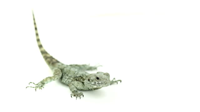 alert lizard on the floor - sideways glance stock videos & royalty-free footage