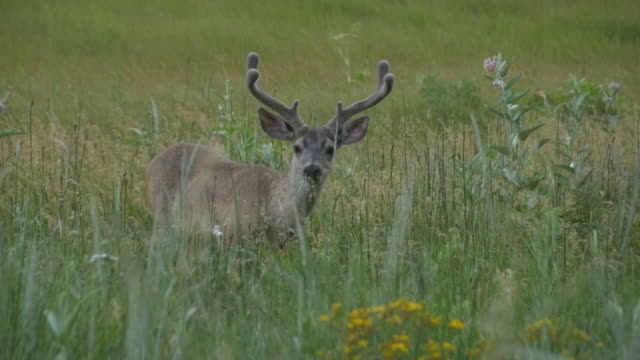 alert mule deer in yosemite national park - mule stock videos & royalty-free footage