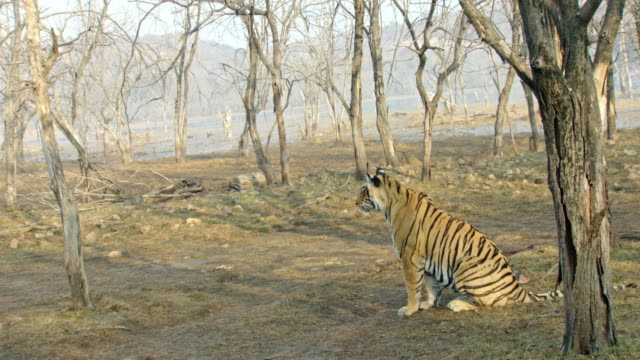 alert tigress - lakeshore stock videos & royalty-free footage