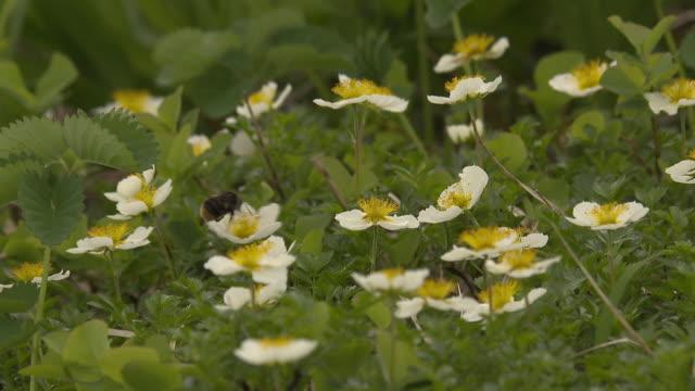 aleutian avens (geum pentapetalum) - yamagata prefecture stock videos & royalty-free footage