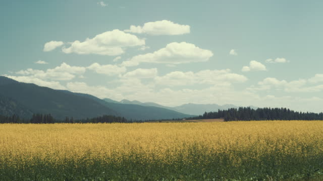 Alfalpha field in Montana