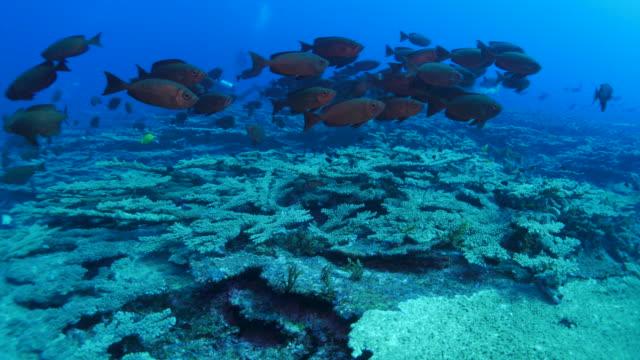 vídeos de stock e filmes b-roll de alfonsino fish (beryx splendens) schooling, japan - lutjanídeo