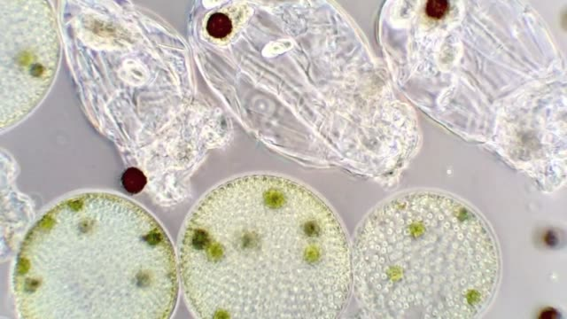 Algae and rotifers