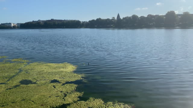 algae floats on sortedam lake, copenhagen - algae fuel video stock e b–roll