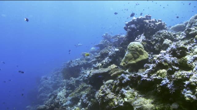 """vídeos de stock, filmes e b-roll de """"all kinds of marine life swim through coral, including a shark"""" - carcharhinus longimanus"""