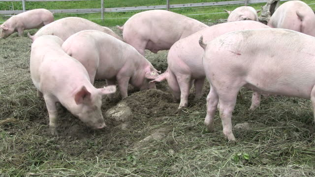 stockvideo's en b-roll-footage met ms all pigs eating together  at schlappold alm / oberstdorf, bavaria, germany  - varken