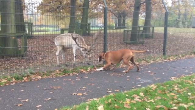 all this fun-loving boxer wants to do is play with a deer it has met. however, there's a fence in the way. how adorable is this interaction? credit... - boxer dog stock videos & royalty-free footage
