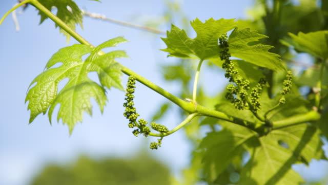 """vídeos y material grabado en eventos de stock de """"allegagione"""" in italy, closeup of some grapes during the fruit setting. - grape leaf"""