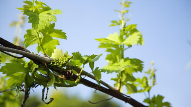 """vídeos y material grabado en eventos de stock de """"allegagione"""" in italy, some grapes during the fruit setting. - hoja de la vid"""