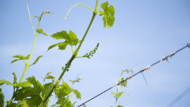 """""""allegagione"""" in italy, some grapes during the fruit setting. - grape leaf stock videos and b-roll footage"""