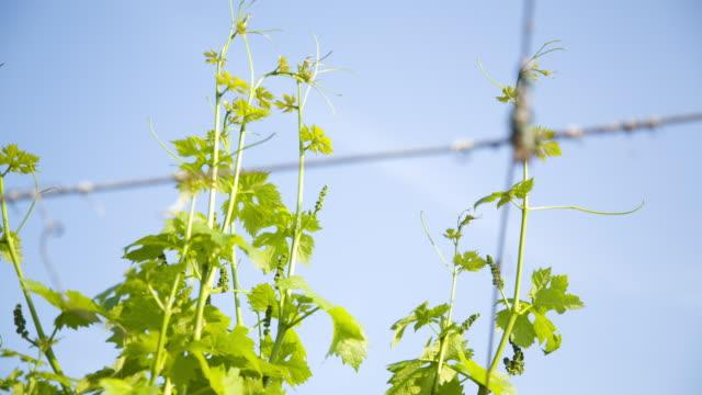 """vídeos y material grabado en eventos de stock de """"allegagione"""" in italy, some grapes during the fruit setting. - grape leaf"""