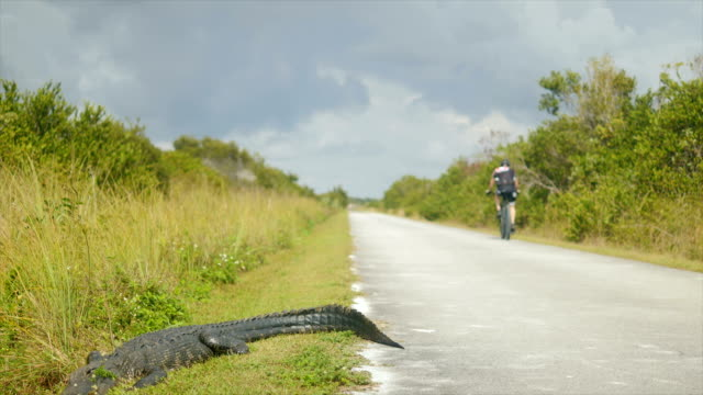 Alligator and Bicycle Lover