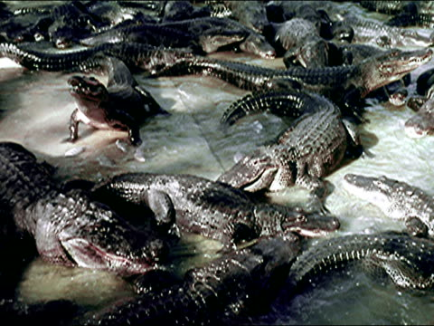 1956 Alligator and Crocodile farm, Florida