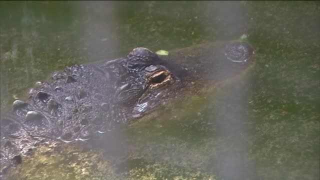 ktla alligator at the pasadena humane society - american alligator stock videos & royalty-free footage