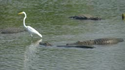 Alligator floats just above the water
